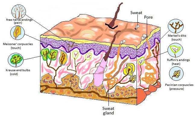 cutaneous receptors A cutaneous receptor is a type of sensory receptor found in the dermis or epidermis they are a part of the somatosensory system cutaneous receptors include eg cutaneous mechanoreceptors, nociceptors (pain) and thermoreceptors (temperature.