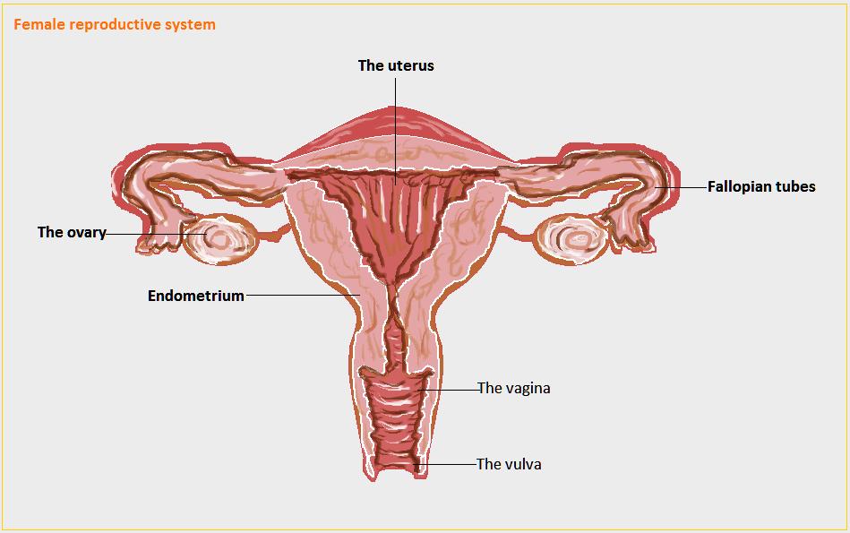 Fantastic Female Vulva Diagram Photos Anatomy Ideas Yunokifo